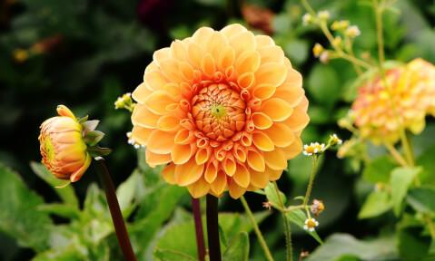 9月の花:ダリア
