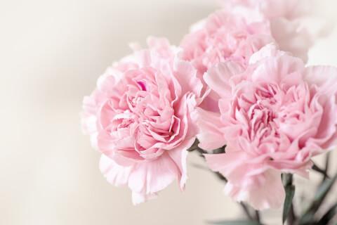 5月の花:カーネーション