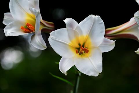 7月の花:ユリ