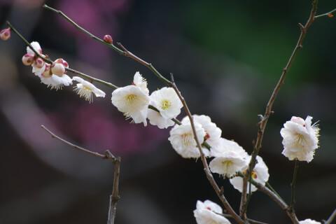 2月の花:ウメ