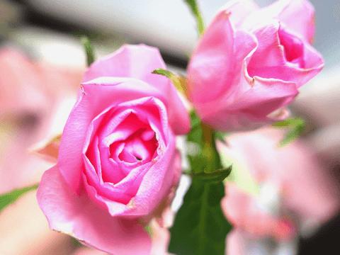 誕生日花 バラ