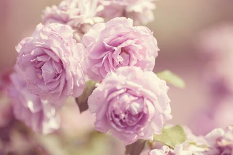 バラ フリー画像