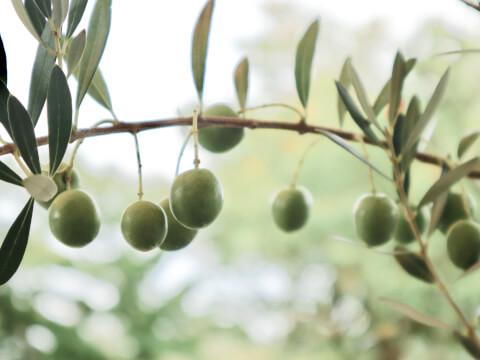 olive-dhc