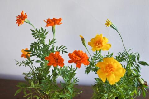 gardening-marigold