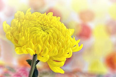 黄色い菊の接写
