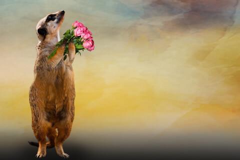 花束を持ったミーアキャット