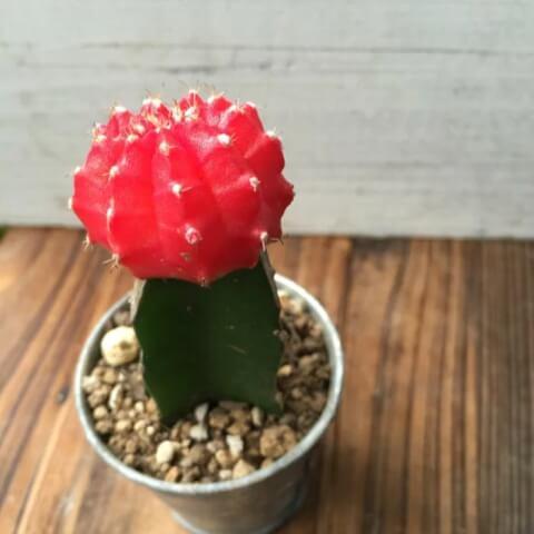 ひぼたん サボテン 育て方 種類 花 とげ 植え替え おすすめ 人気 インテリア