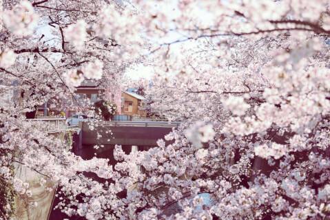 桜 写真 前ボケ