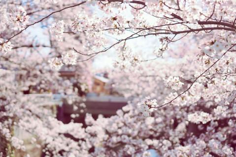 桜 写真 春