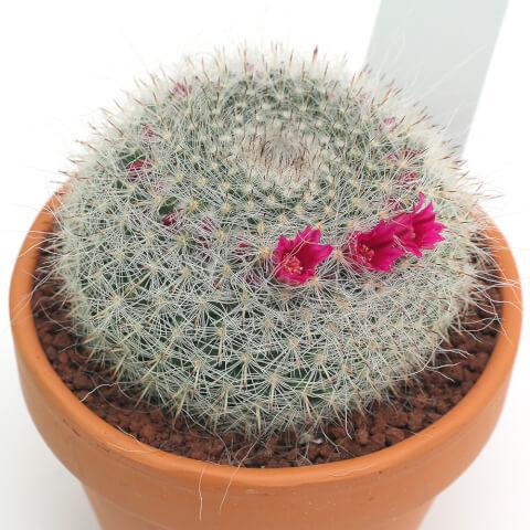 たまおきな サボテン 育て方 種類 花 とげ 植え替え おすすめ 人気 インテリア