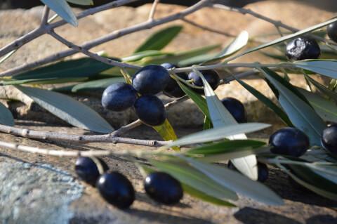 オリーブの枝と黒オリーブ