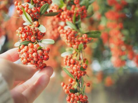 写真 赤い実 手 植物
