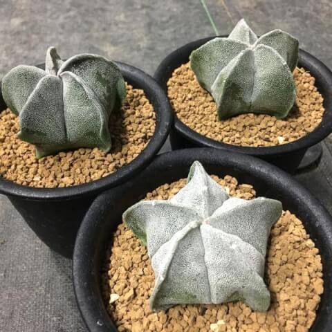 ランポー玉 サボテン 育て方 種類 花 とげ 植え替え おすすめ 人気 インテリア