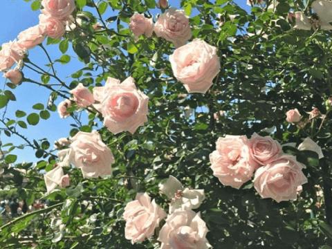 バラ 本数 花言葉