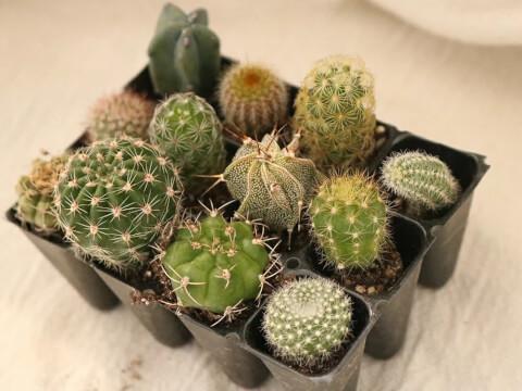 サボテン 育て方 種類 花 とげ 植え替え おすすめ 人気 インテリア