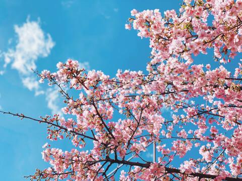 桜 レタッチ