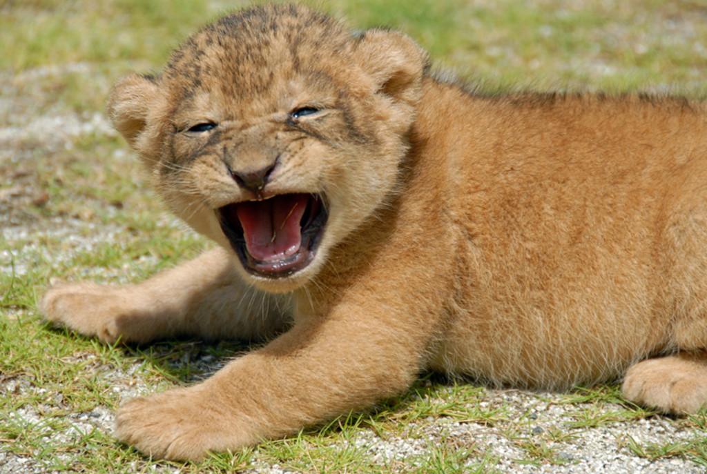 【中止】富士サファリパークで可愛い赤ちゃんライオンと写真を撮ろう!