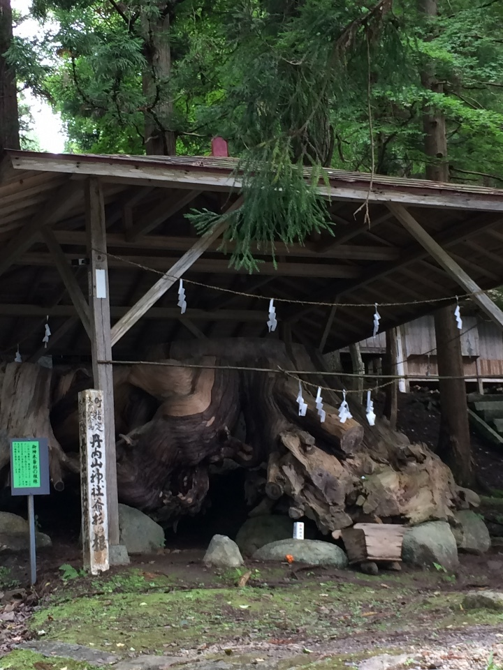 丹内山神社 御神木爺杉の根株