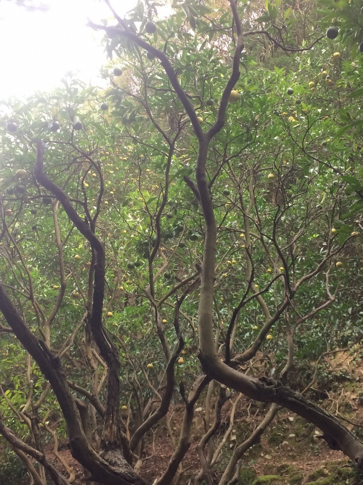 ときじくの木