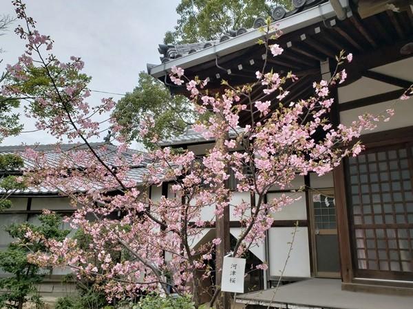 意賀美神社 高津桜