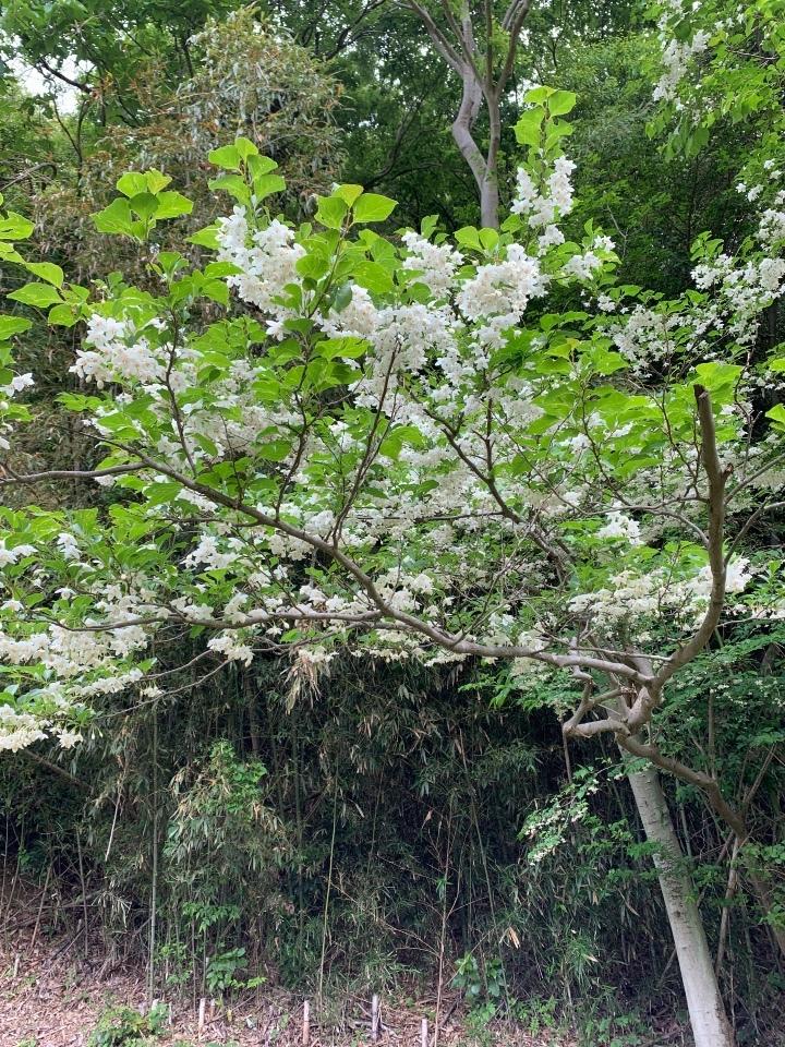 エゴの木と花