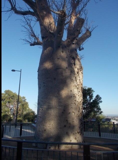 キングスパーク バオバブの木