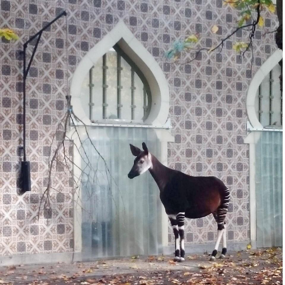 ベルギー アントワープ動物園にオカピを見に行こう!