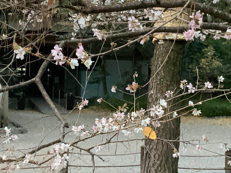 🌸 四季桜
