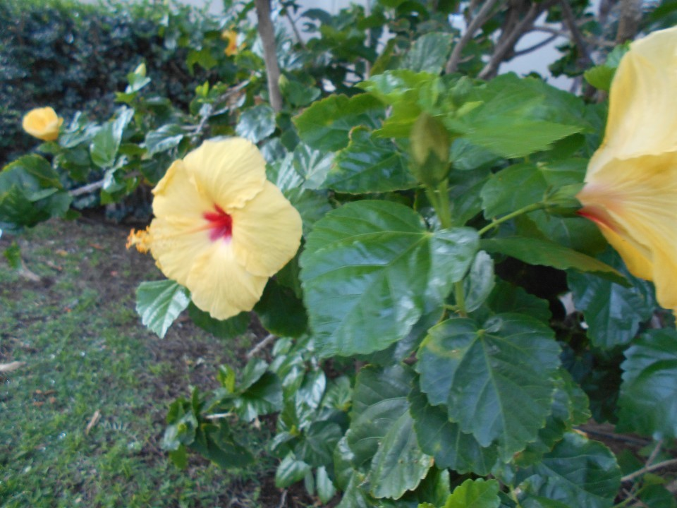 リゾートの庭に咲いていた熱帯の花