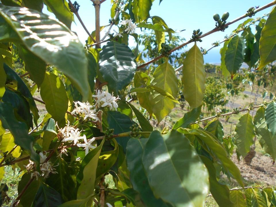 コナコーヒーの花?