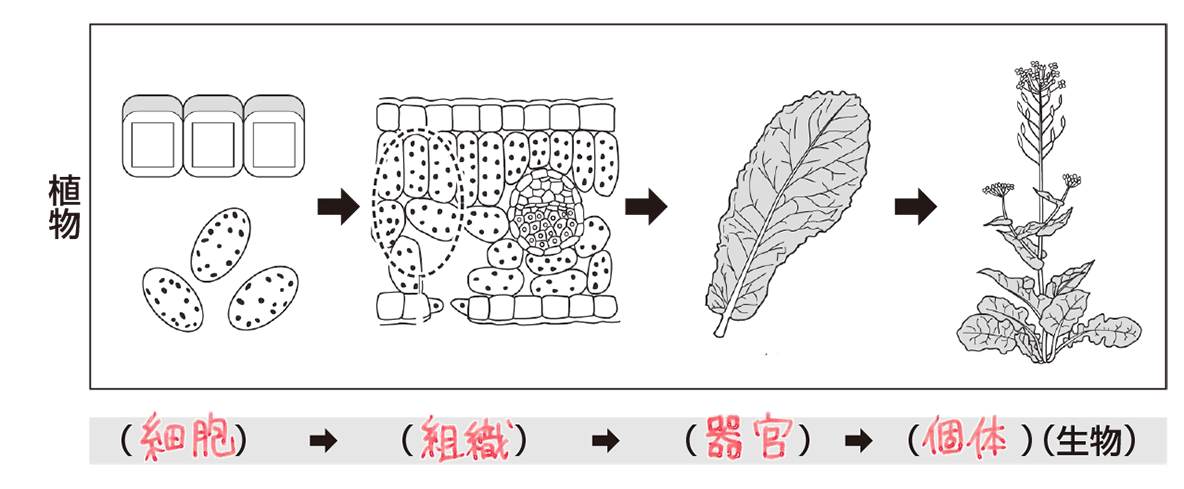 中2 理科生物2 ポイント2 植物のみ
