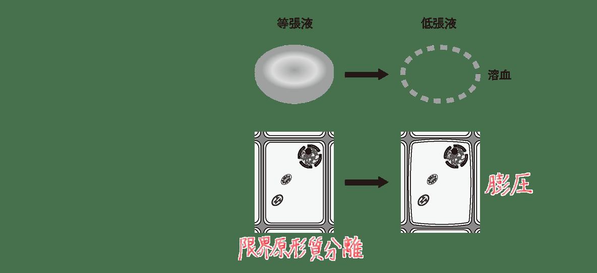 高校 生物 細胞14 ポイント3 図 高張液の図2つカット