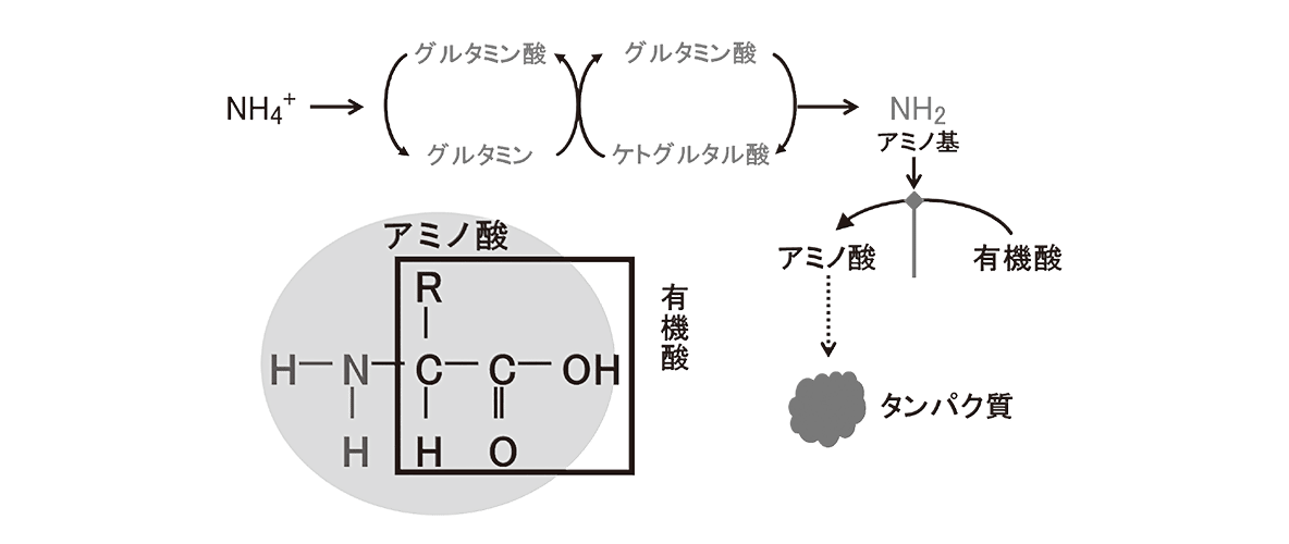 高校 生物 代謝11 ポイント2 図・アミノ基転移酵素空ける