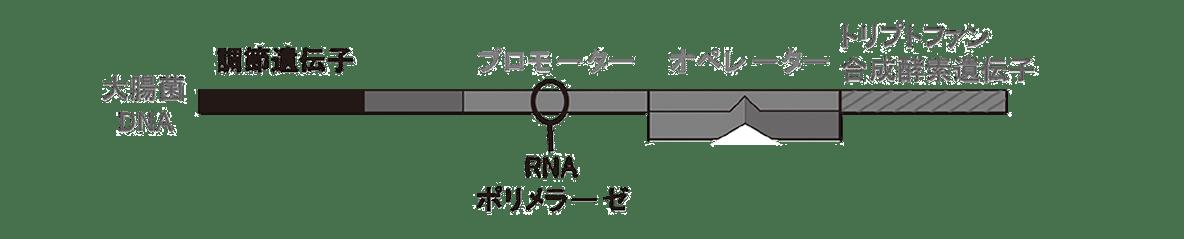 高校 生物 遺伝15 ポイント2 図・大腸菌DNAから右側の図のみ・RNAポリメラーゼは含む・矢印や転写などはすべて除く