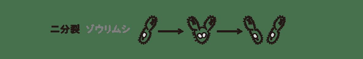 高校 生物 生殖1 ポイント2 二分裂ゾウリムシの図