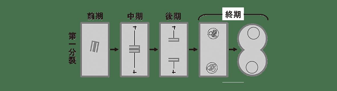 高校 生物 生殖2 ポイント2 第一分裂の図