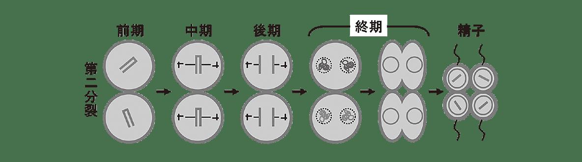 高校 生物 生殖2 ポイント2 第二分裂の図