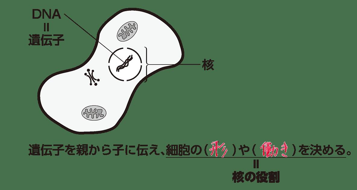 高校 生物基礎 細胞7 ポイント1 カッコ埋める