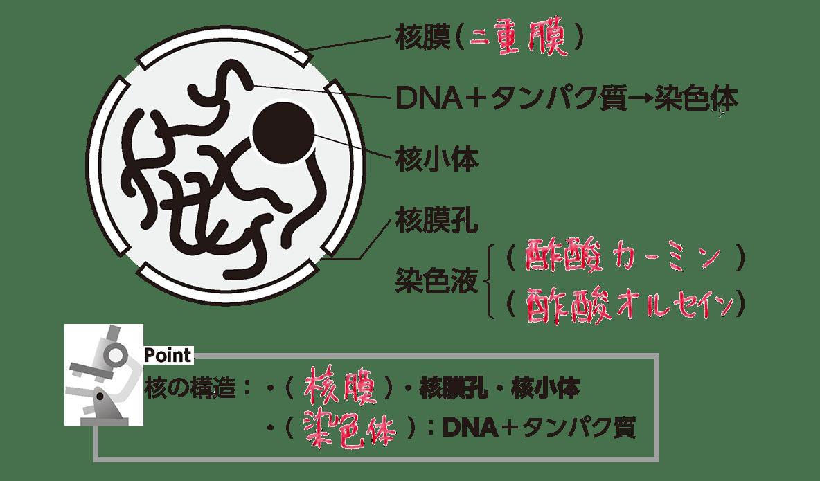 高校 生物基礎 細胞7 ポイント2 カッコ埋める