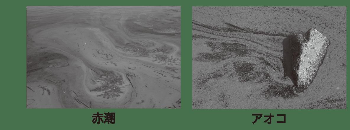 高校 生物基礎 生態系14 ポイント2 写真と赤潮・アオコの文字のみ