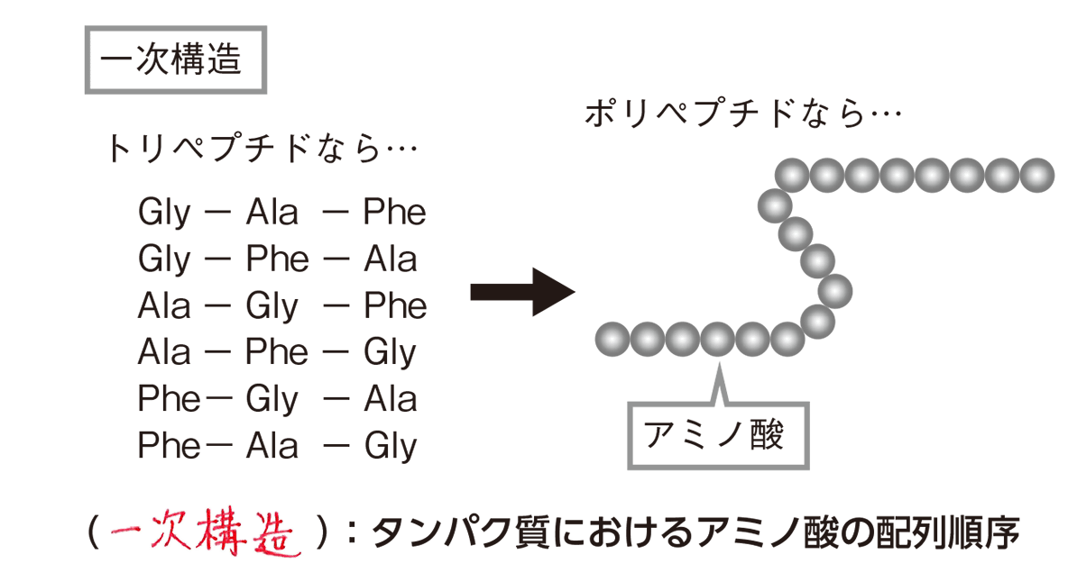 高校 化学 6章 2節 29 1 一次構造の図と説明