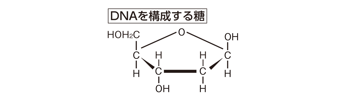 高校 化学 6章 2節 36 2 「DNAを構成する糖」の図のみ