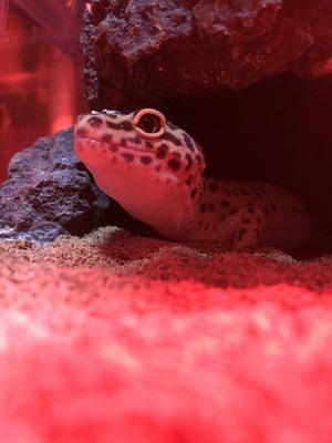 GSLizard(Gecko、Snake、Lizard)