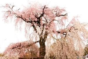 【福岡カメラ好き交流会】大濠公園の満開の桜の下でお花見&撮影会【写真好き】