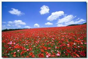 6月2日(日)秩父 大霧山&天空の1000万本のポピー 長閑な高原にて広がるポピーの群生地