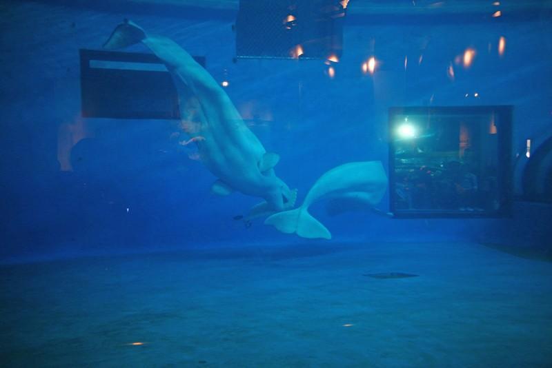 白鯨區共計三隻可愛的白鯨住在寬廣水池中,但對於這類自在遨遊大洋的聰明大動物,這樣的活動範圍依舊太過狹窄。
