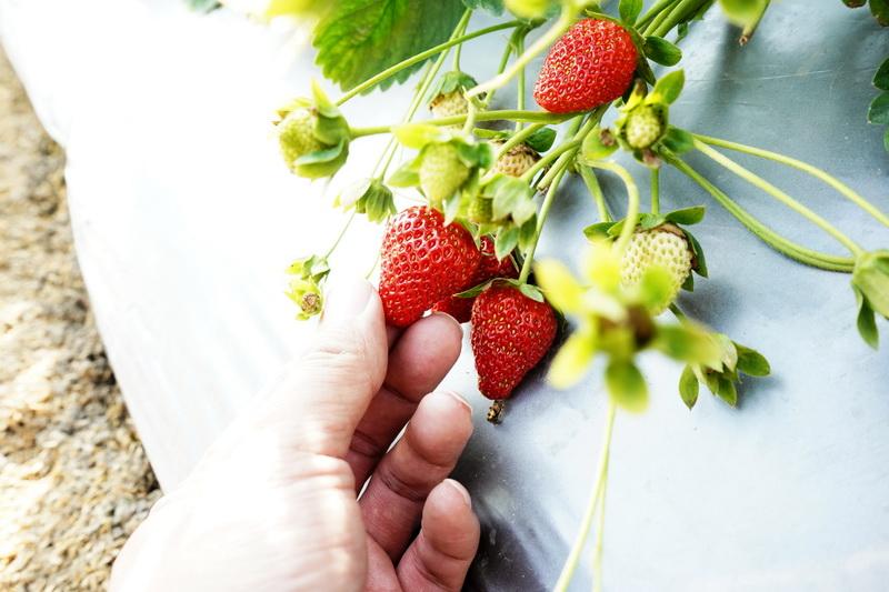 鮮豔欲滴的紅色果實,讓人忍不住想咬一口