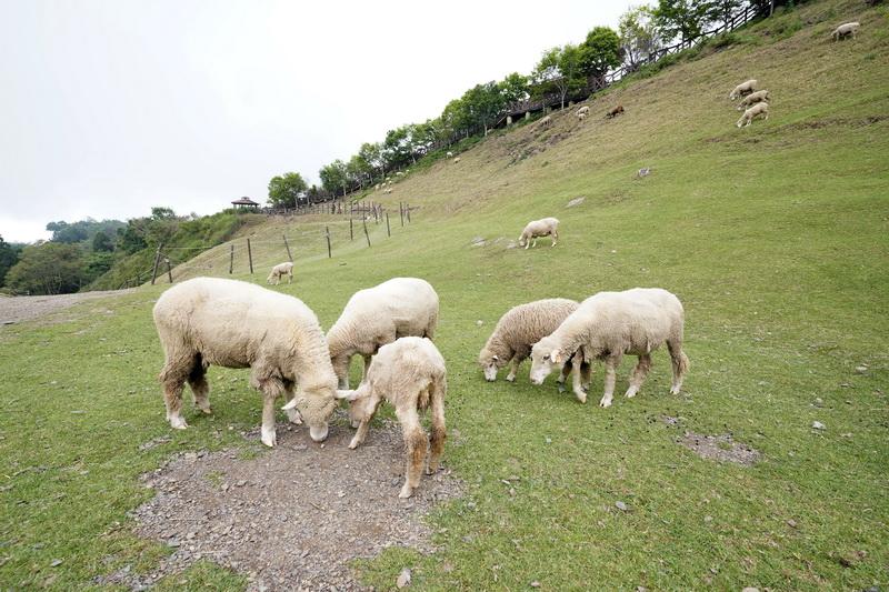 青青草原中可與放養綿羊做近距離互動,搭配眼前綿延不斷的山景就宛如置身歐洲一般