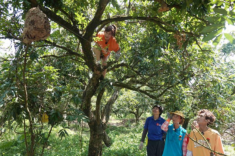 【車勢星聞】《綜藝新時代》體驗採龍眼基本功「爬樹」,籃籃嚇出人生跑馬燈。(圖:民視提供)