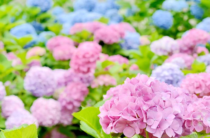 季節の花祭壇 紫陽花